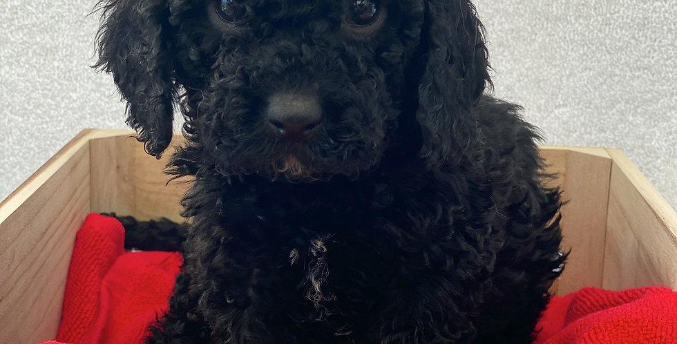 DEPOSIT FOR Red 2074 (Black Female mini cavoodle)