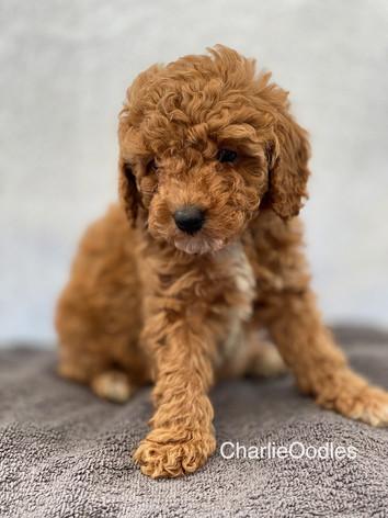 IMG_1213Minnies puppies 6 weeks29.jpg