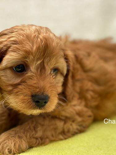 IMG_1078Dora puppies 7 weeks26.jpg