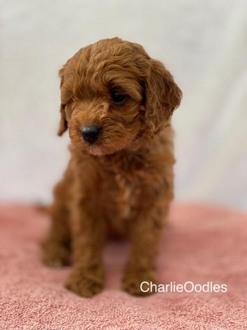 IMG_1146Minnies puppies 6 weeks92.jpg
