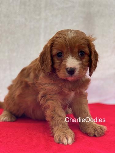 IMG_0994Dora puppies 7 weeks98.jpg