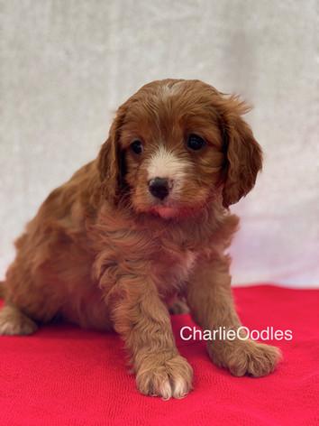 IMG_0992Dora puppies 7 weeks100.jpg