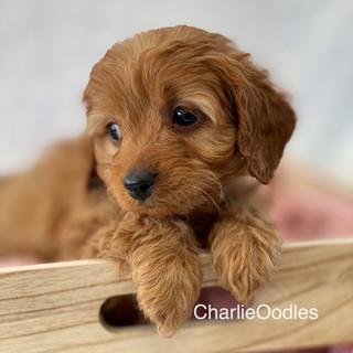 IMG_1268Doras puppies 7 weeks138.jpg