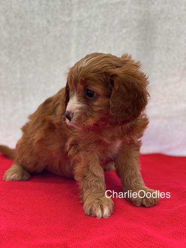 IMG_0989Dora puppies 7 weeks103.jpg