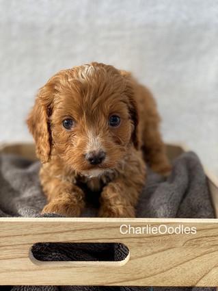IMG_1373Doras puppies 7 weeks37.jpg