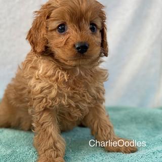 IMG_1348Doras puppies 7 weeks61.jpg