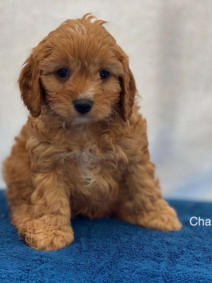 IMG_1034Dora puppies 7 weeks64.jpg