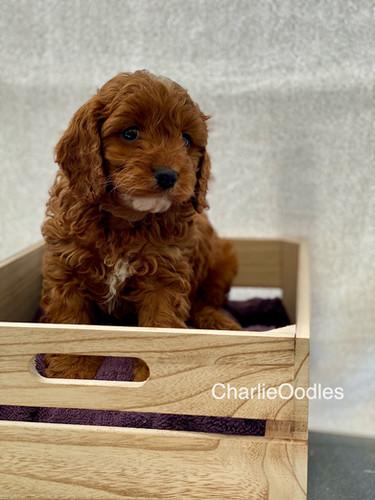 IMG_1087Dora puppies 7 weeks14.jpg