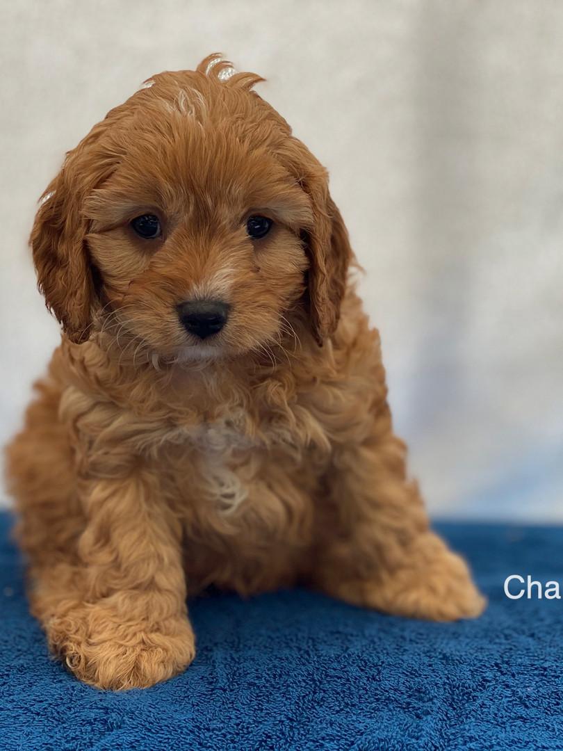 IMG_1033Dora puppies 7 weeks65.jpg