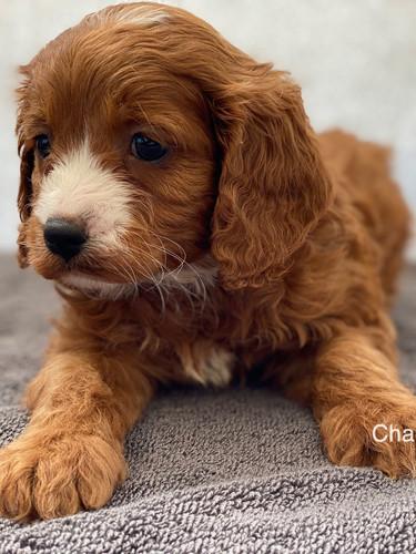 IMG_1059Dora puppies 7 weeks43.jpg