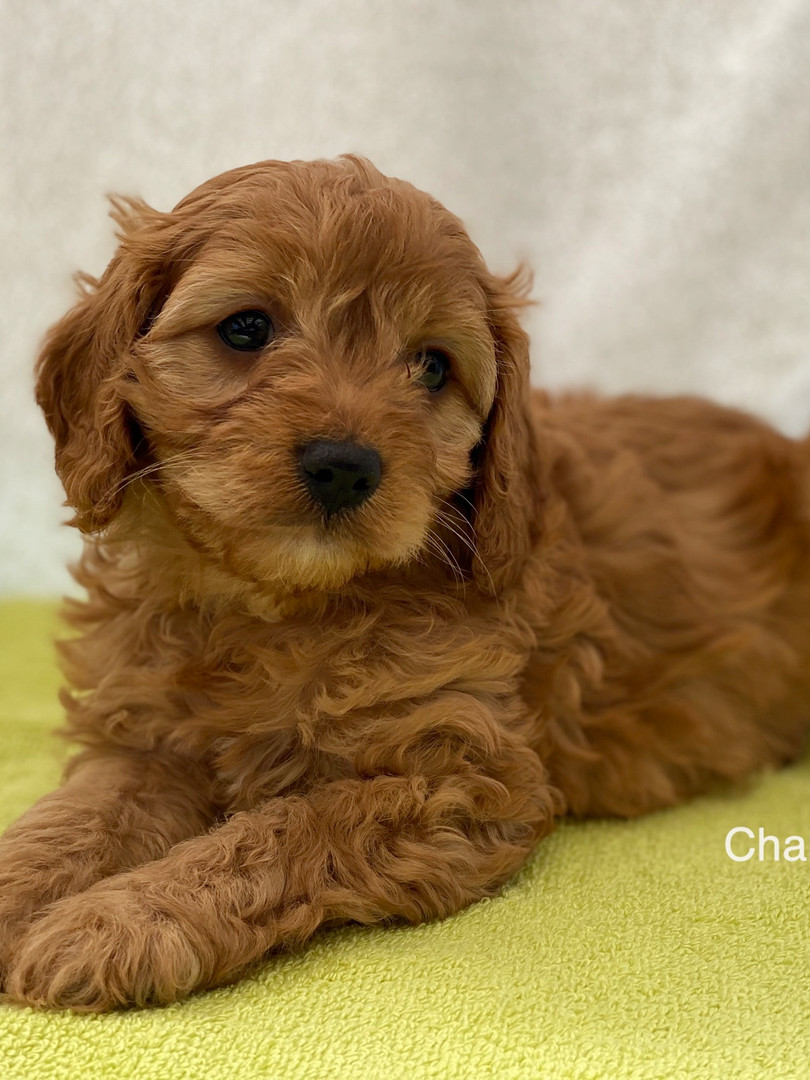 IMG_1085Dora puppies 7 weeks19.jpg