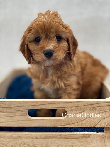 IMG_1024Dora puppies 7 weeks74.jpg