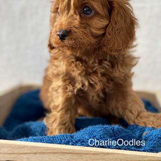 IMG_1408Doras puppies 7 weeks8.jpg