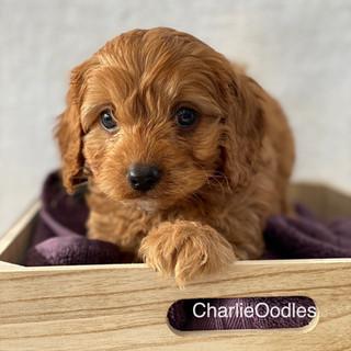 IMG_1358Doras puppies 7 weeks51.jpg