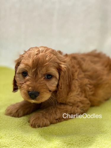 IMG_1074Dora puppies 7 weeks29.jpg