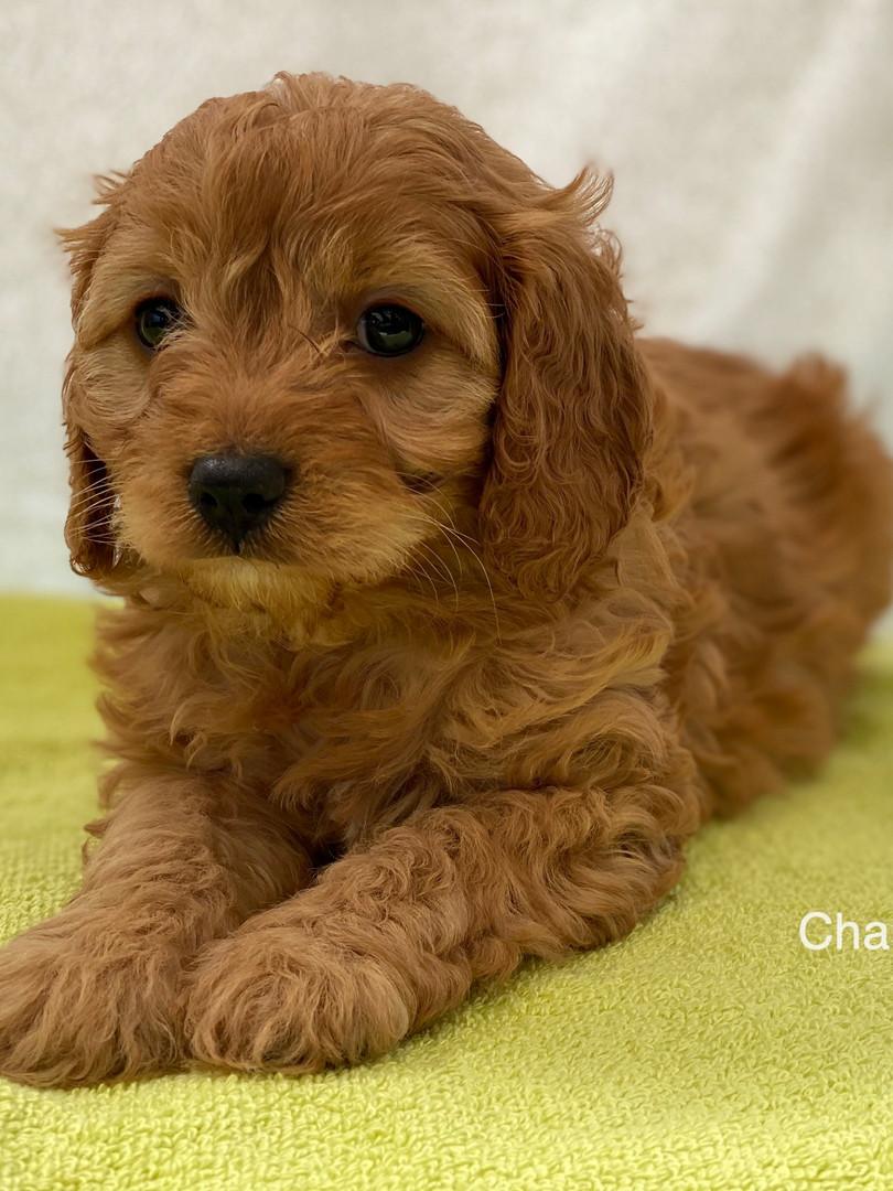 IMG_1082Dora puppies 7 weeks22.jpg