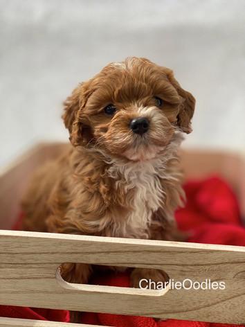 IMG_1111Minnies puppies 6 weeks122.jpg