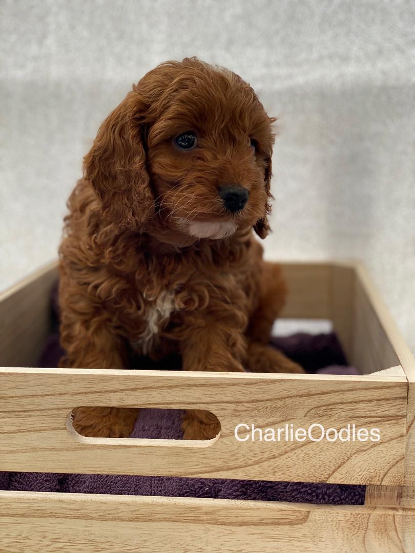IMG_1086Dora puppies 7 weeks18.jpg