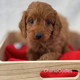 IMG_1243Doras puppies 7 weeks163.jpg