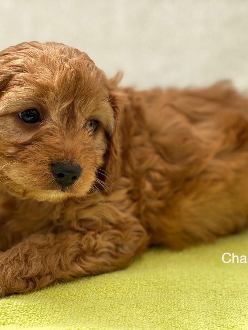 IMG_1077Dora puppies 7 weeks27.jpg