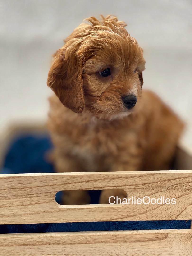 IMG_1021Dora puppies 7 weeks77.jpg