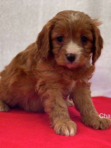 IMG_0996Dora puppies 7 weeks96.jpg