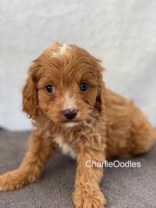 IMG_1386Doras puppies 7 weeks27.jpg