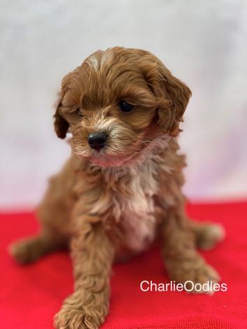 IMG_1125Minnies puppies 6 weeks112.jpg