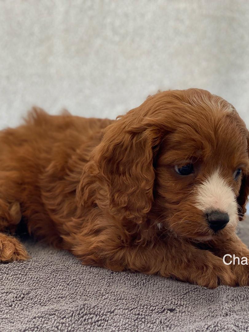 IMG_1054Dora puppies 7 weeks46.jpg
