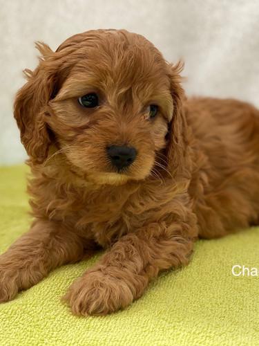 IMG_1081Dora puppies 7 weeks23.jpg
