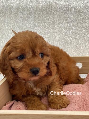 IMG_1004Dora puppies 7 weeks91.jpg