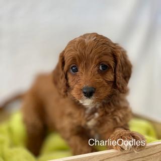 IMG_1287Doras puppies 7 weeks119.jpg