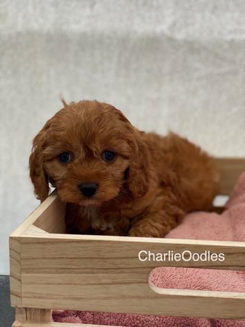 IMG_1003Dora puppies 7 weeks92.jpg