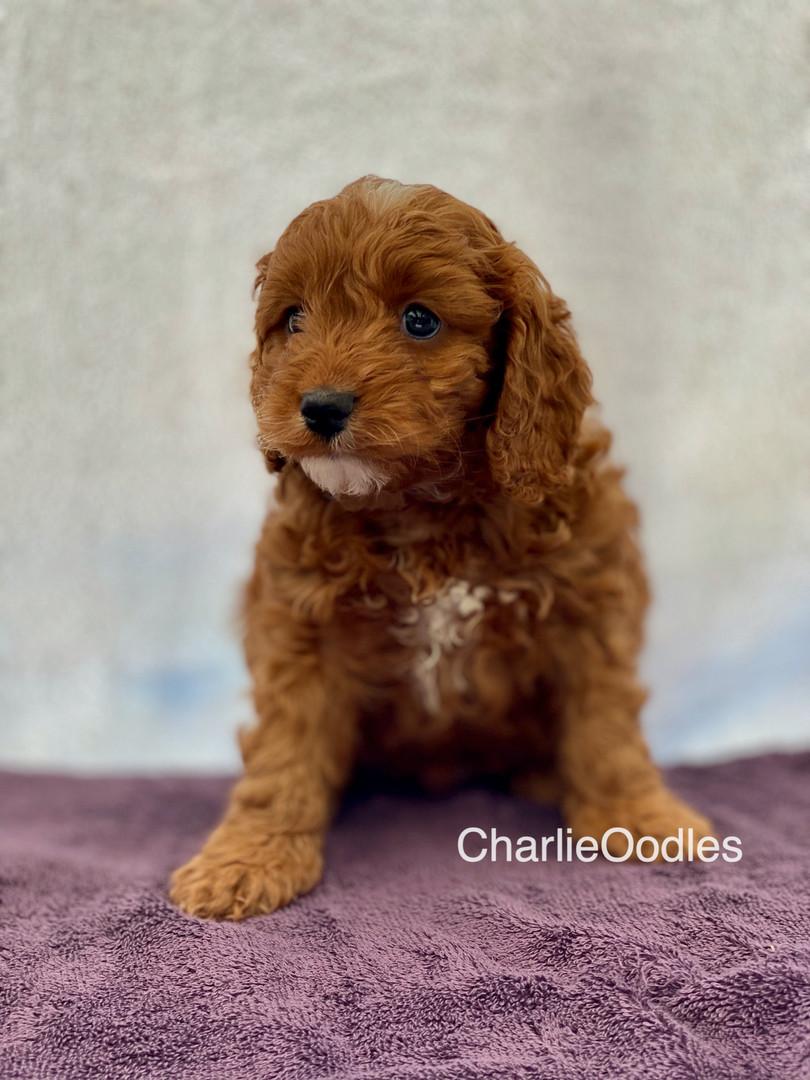 IMG_1102Dora puppies 7 weeks3.jpg