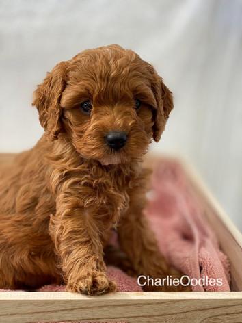 IMG_1136Minnies puppies 6 weeks102.jpg