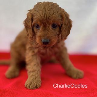 IMG_1255Doras puppies 7 weeks151.jpg