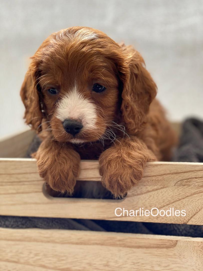 IMG_1048Dora puppies 7 weeks51.jpg