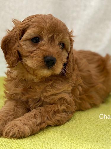 IMG_1084Dora puppies 7 weeks20.jpg
