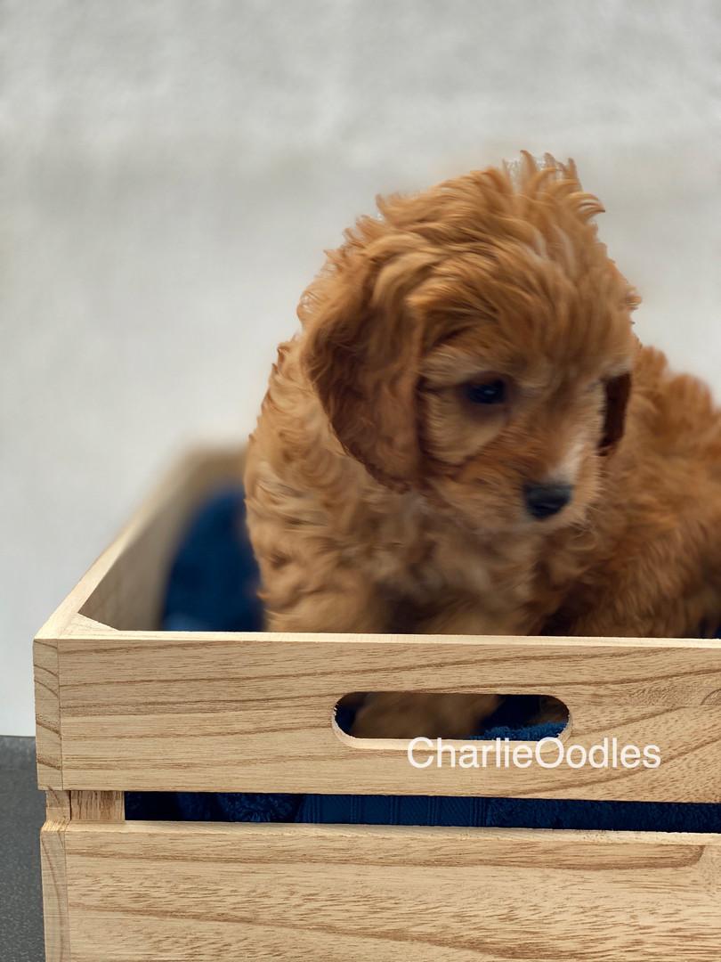 IMG_1018Dora puppies 7 weeks79.jpg