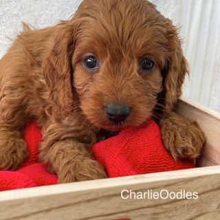 IMG_1253Doras puppies 7 weeks153.jpg