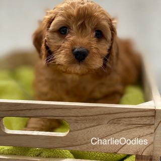 IMG_1063Dora puppies 7 weeks39.jpg