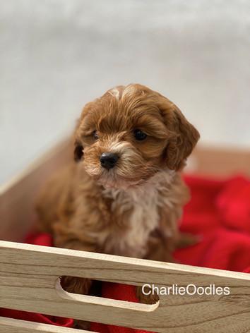 IMG_1117Minnies puppies 6 weeks118.jpg