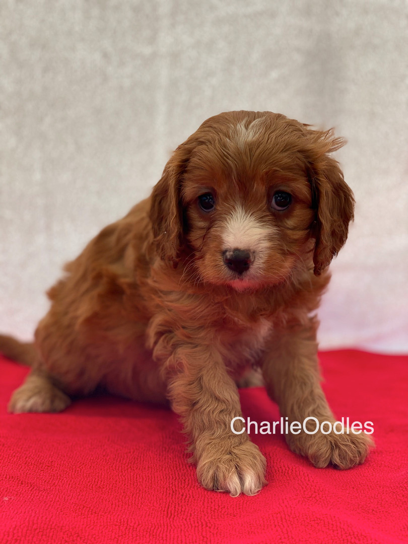IMG_0990Dora puppies 7 weeks102.jpg