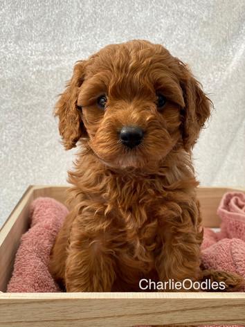 IMG_1139Minnies puppies 6 weeks99.jpg