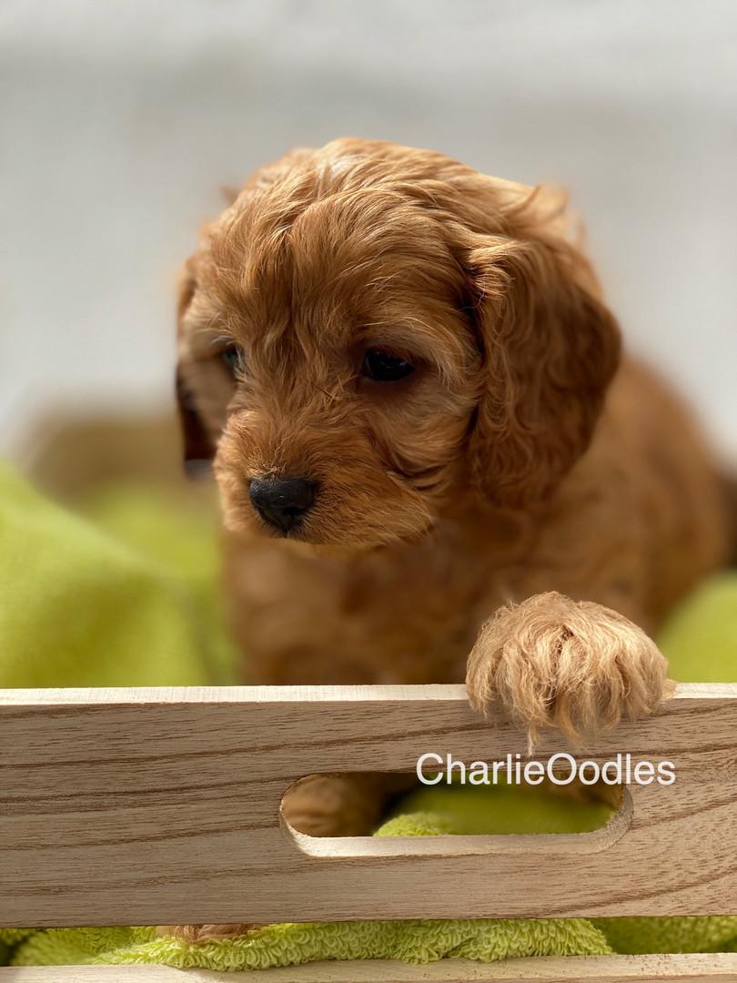 IMG_1067Dora puppies 7 weeks35.jpg