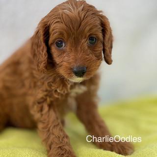 IMG_1301Doras puppies 7 weeks106.jpg