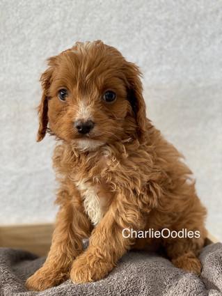 IMG_1382Doras puppies 7 weeks29.jpg