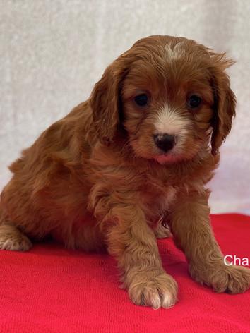 IMG_0995Dora puppies 7 weeks97.jpg