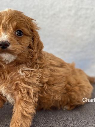 IMG_1392Doras puppies 7 weeks23.jpg
