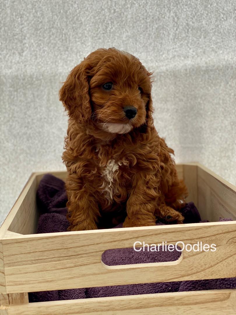 IMG_1090Dora puppies 7 weeks11.jpg
